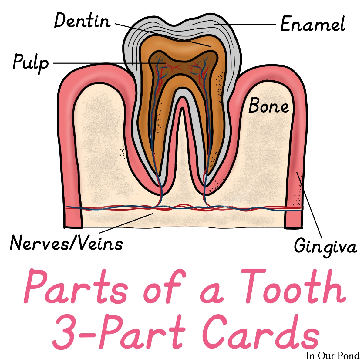 Tooth 3 Part Cards