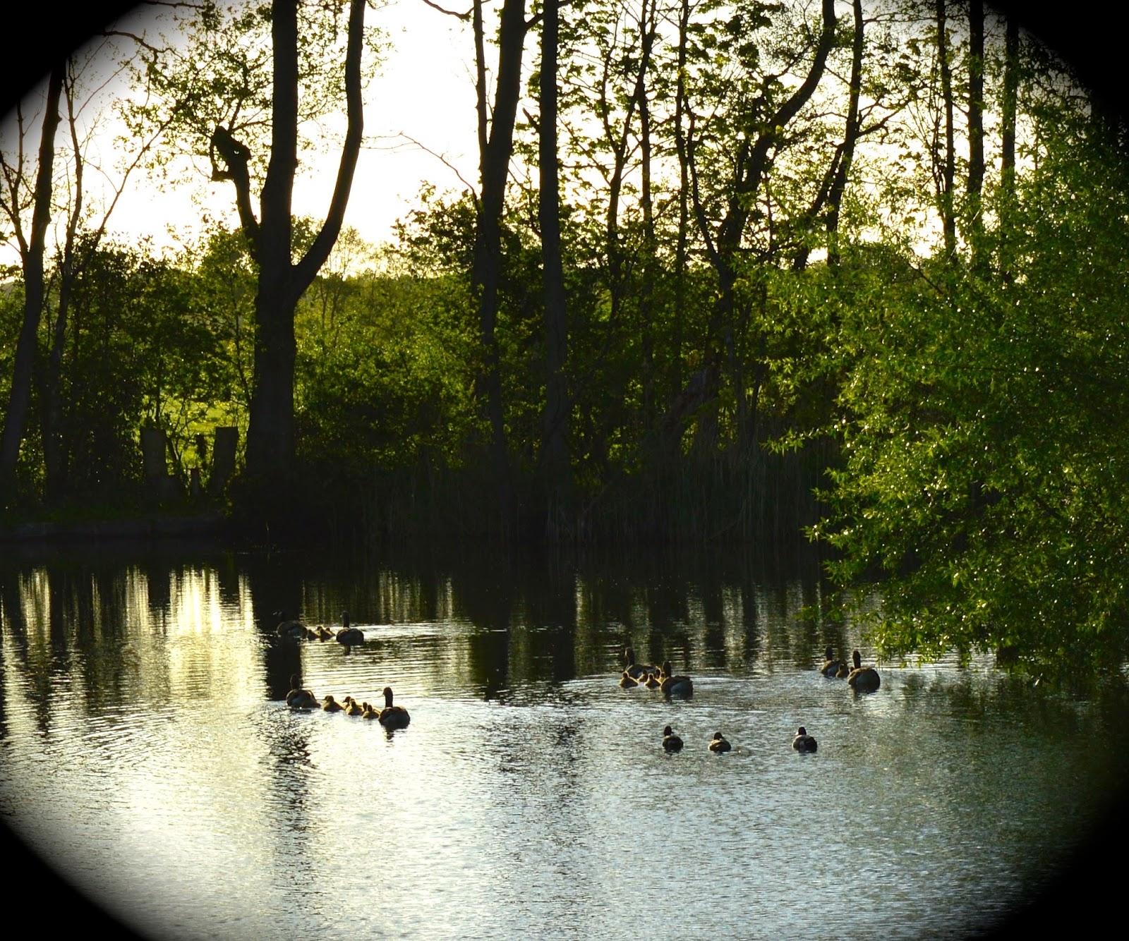 Acorn glade lake, geese and goslings