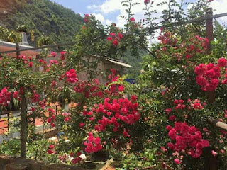 hoa hồng tầm xuân đỏ thích hợp làm cây tree rose thân gỗ