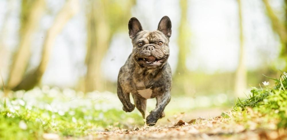 French Bulldog Puppies For Sale Bulldog Breeder