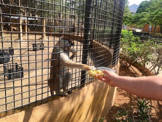 Monkey-park-los-cristianos-feeding-mnkeys