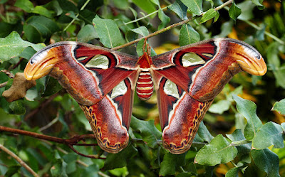 Atlas Moth | Attacus atlas