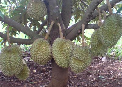 Teknik Agar Durian Cepat Berbuah