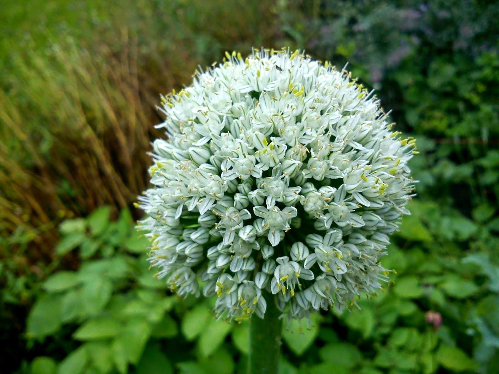 Hvit blomst av vanlig løk