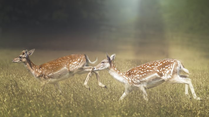Wallpaper 2: Fallow Deer