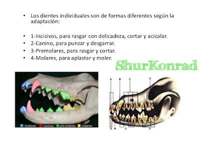 Cachorro que edad dientes tiene dientes Cachorra ShurKonrad 3