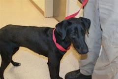 7/26/11 Doberman Pinscher Mix Needs Out.