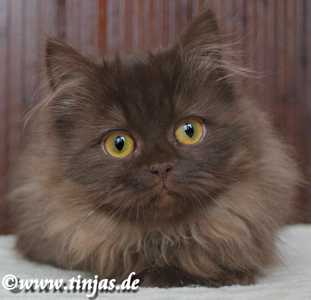 Britisch Langhaar Katzen in chocolate aus der Tinjas Katzenzucht