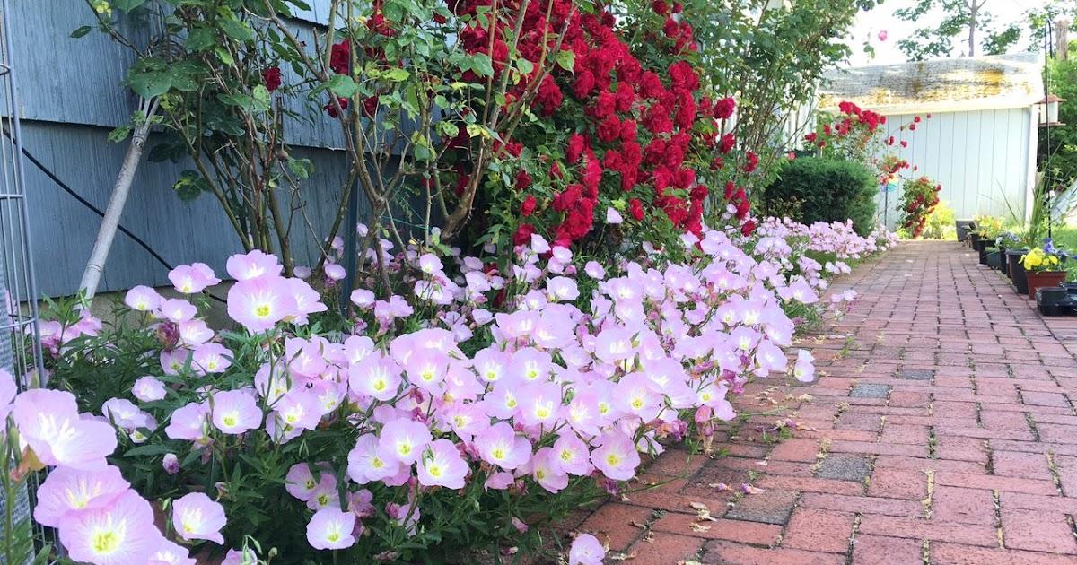 Jardineria Plantas Y Su Cuidado Oenothera Speciosa