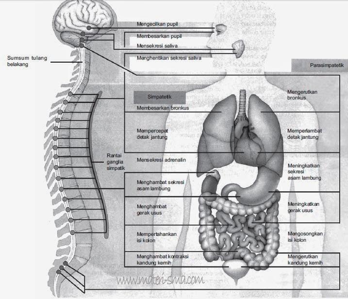 saraf simpatetik dan saraf parasimpatetik