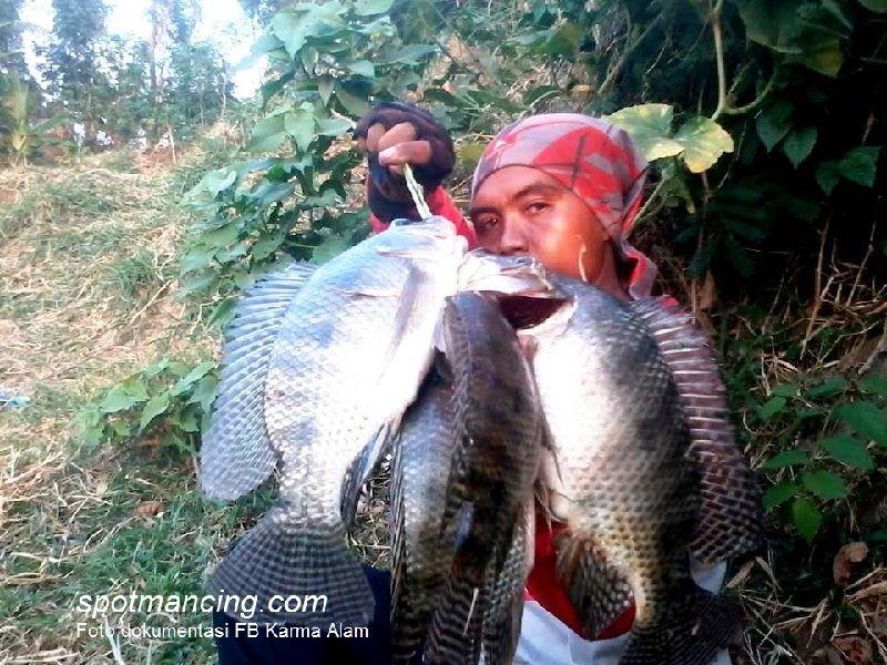 mancing ikan gurame besar