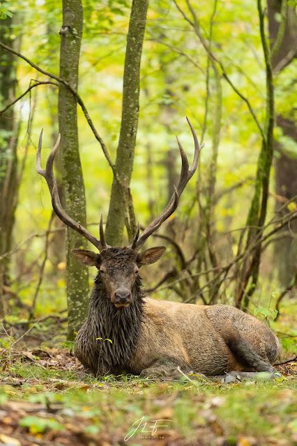 wapiti, elk, wildlife, wild, animal, mammal, mammifère, faune sauvage, elk county, mating season, jérémie leblond-fontaine