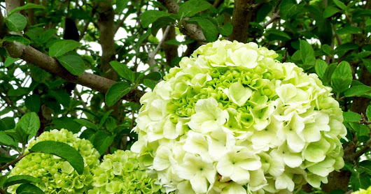 Lovely Hydrangeas for your garden