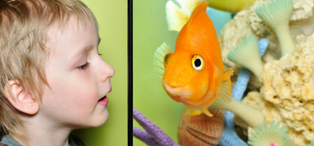 A young boy looks at an orange fish in an aquarium