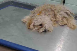 The saddest tiny Poodle Mini that nobody want, hopeless as he is formally placed on death row