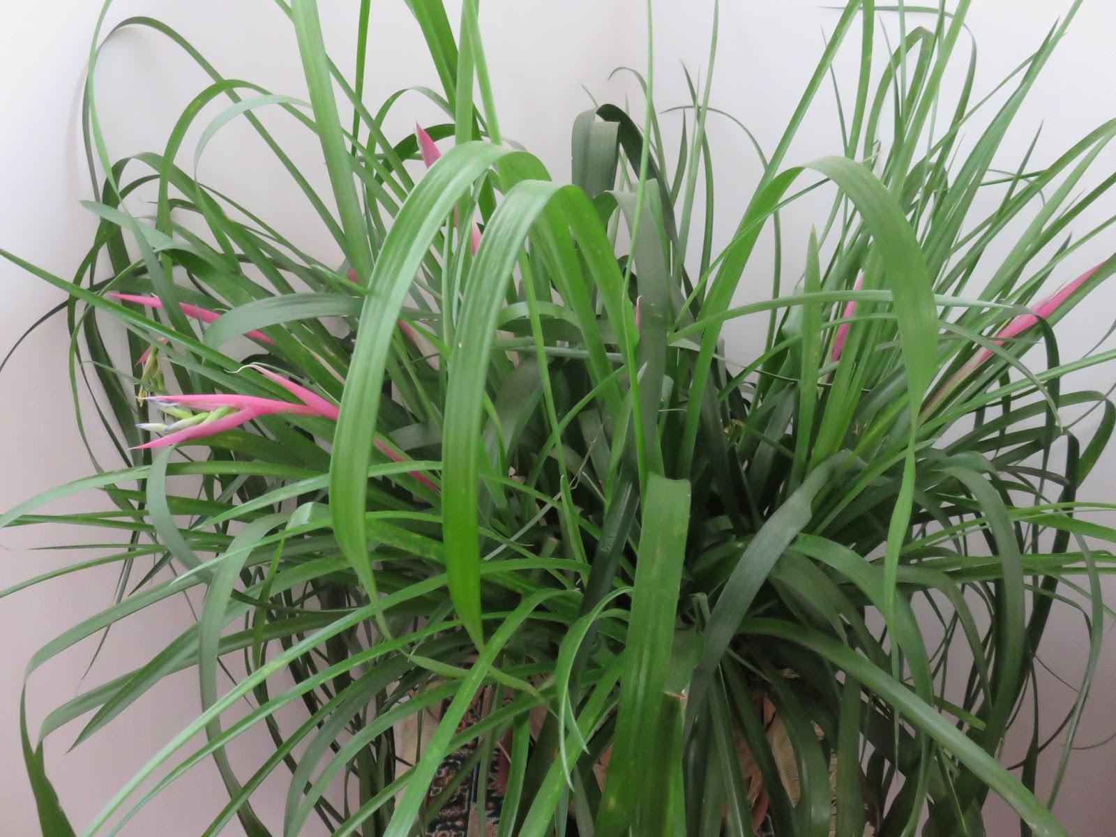 Piante Eleganti Da Appartamento piante da appartamento. 3° parte.