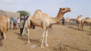 Somaliland used camels to go to war
