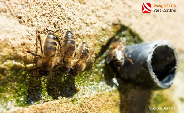 honey bees drinking