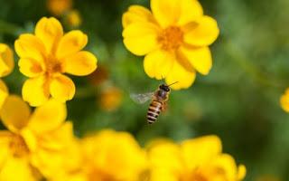 Τσίμπημα από μέλισσα: Πόσο γρήγορα πρέπει να αφαιρείται το κεντρί