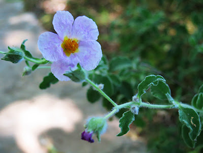 Flor color violeta de la estepa (Cistus creticus)