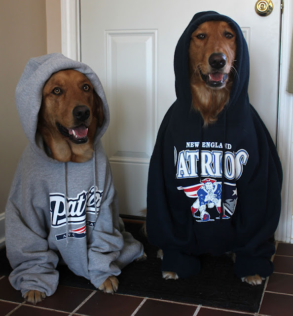 golden retriever dogs dressed up in Patriots Hoodies for Super Bowl
