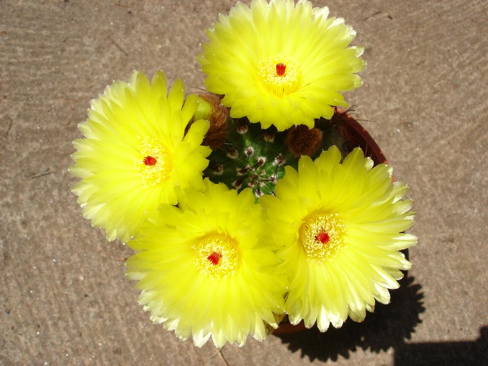 Flora plantes i flors cactus en flor - Infojardin cactus ...