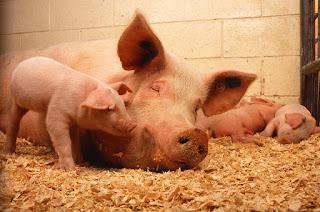 pixabay.com/en/pigs-domestic-animals-fauna-pork-
