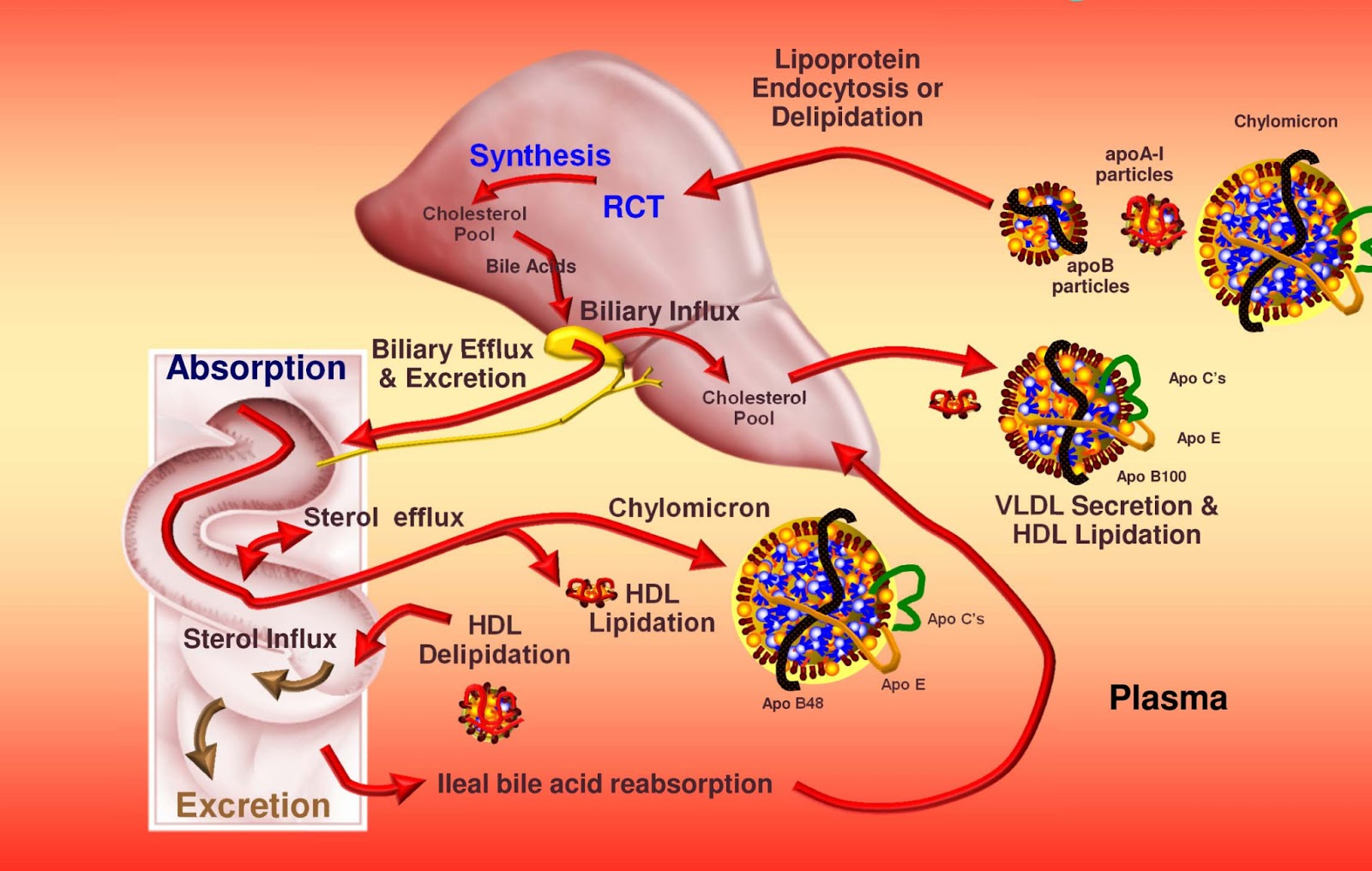 relationship of cholesterol and lipoproteins metabolism