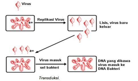 Biologi ipa april 2017 transduksi adalah pemindahan dna dari sel pemberi ke sel penerima dengan perantaraan virus dalam hal ini protein virus yang berfungsi sebagai cangkang ccuart Images