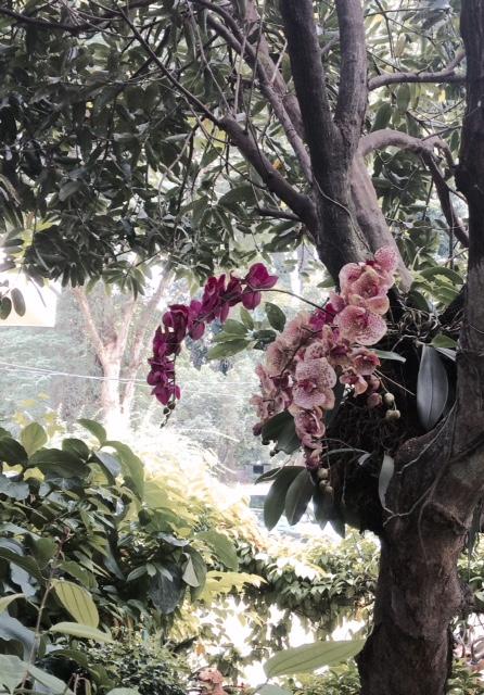 anggrek kebun raya bogor, anggrek, orchid, kamera iphone 5s