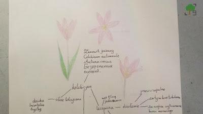 Colchicum autumnale, безвременник осенний, rysunki, mitoza, kolchicyna, biologia