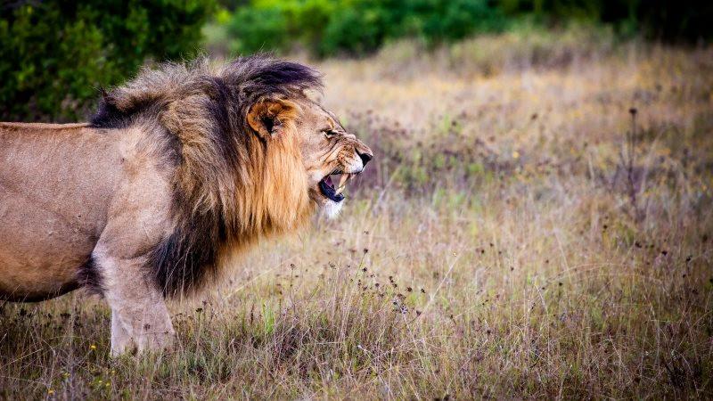 Lion King 2 in Wild Africa