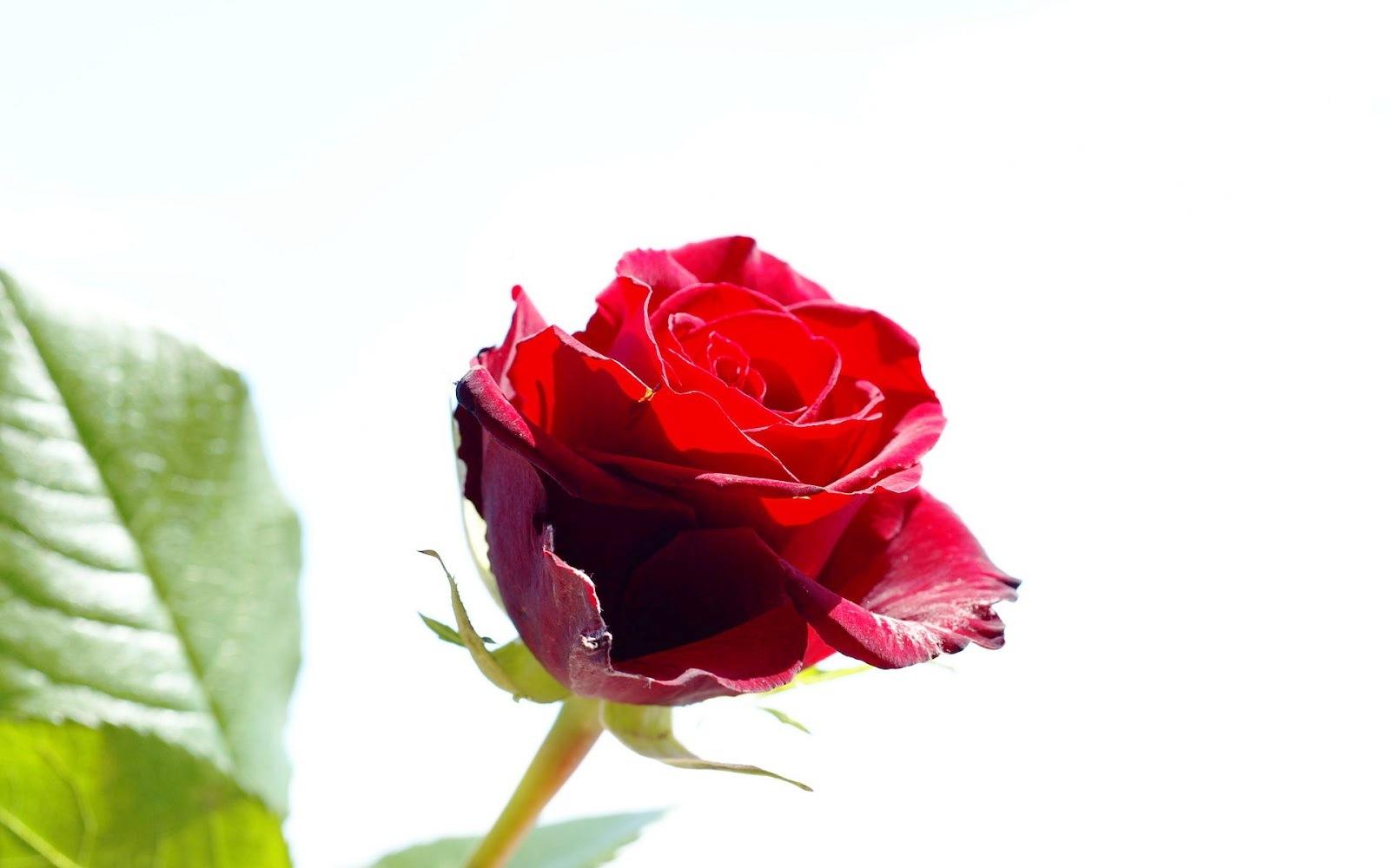 Koleksi Gambar Bunga Mawar Terindah Yang Belum Ada Ketahui Hewan