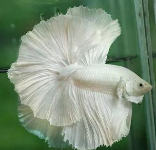 sekian banyak spesies ikan betta atau ikan cupang ini Kabar Terbaru- JENIS IKAN CUPANG
