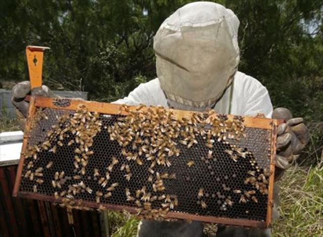 apicultor trabaja con sus colmenas abejas 1512511474558 - La UE prohíbe tres insecticidas peligrosos para las abejas - El Apicultor Español: Actitud y Aptitud