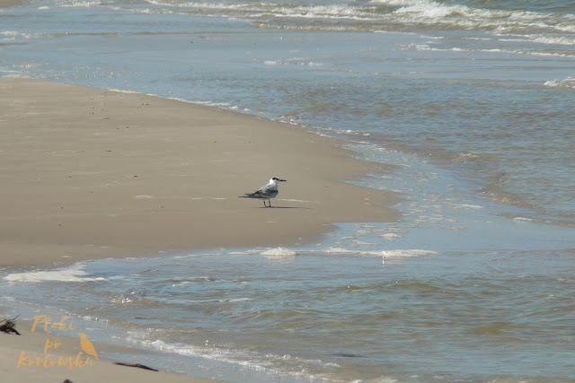 Młoda rybitwa czubata nad morzem