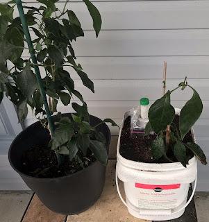 Monster and Baby Monster pepper plants