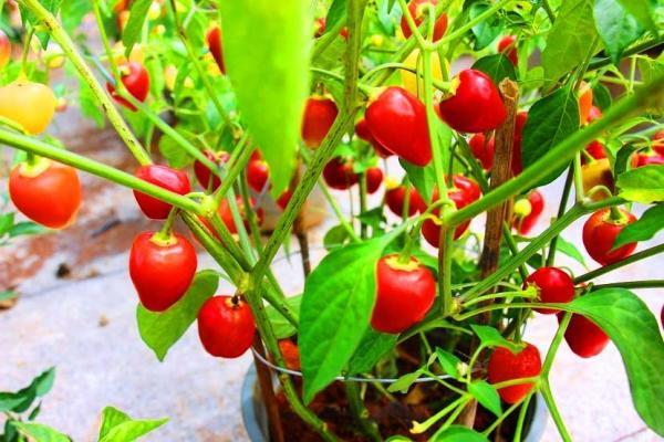 Khám phá các loại ớt phổ biến trên thế giới