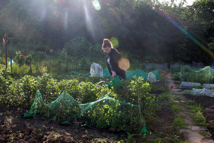 The Victory Garden Walthamstow June  watering my crops