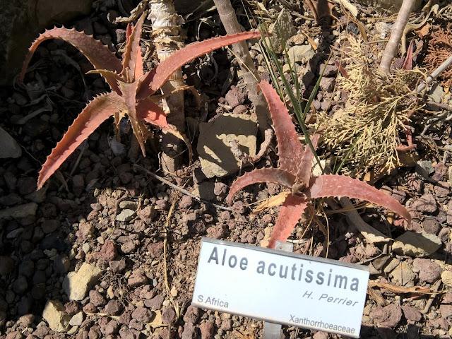 Aloe acutissima
