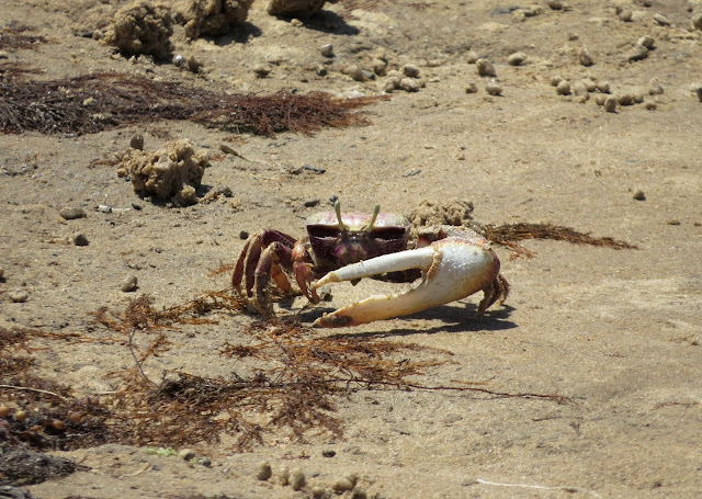 Fiddler Crab - Spain