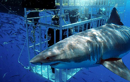 Croaziera sau scufundari intre rechini?
