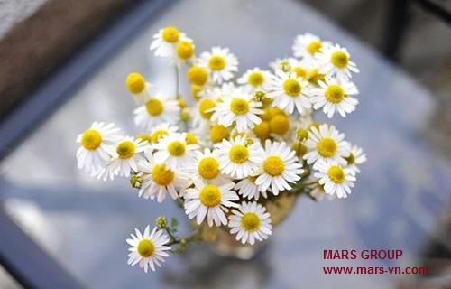 www.mars-vn.com - Không nên tặng hoa cúc cho người Ý