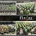 Jual Kaktus Hias, Kaktus Mini dan Souvenir Kaktus Surabaya