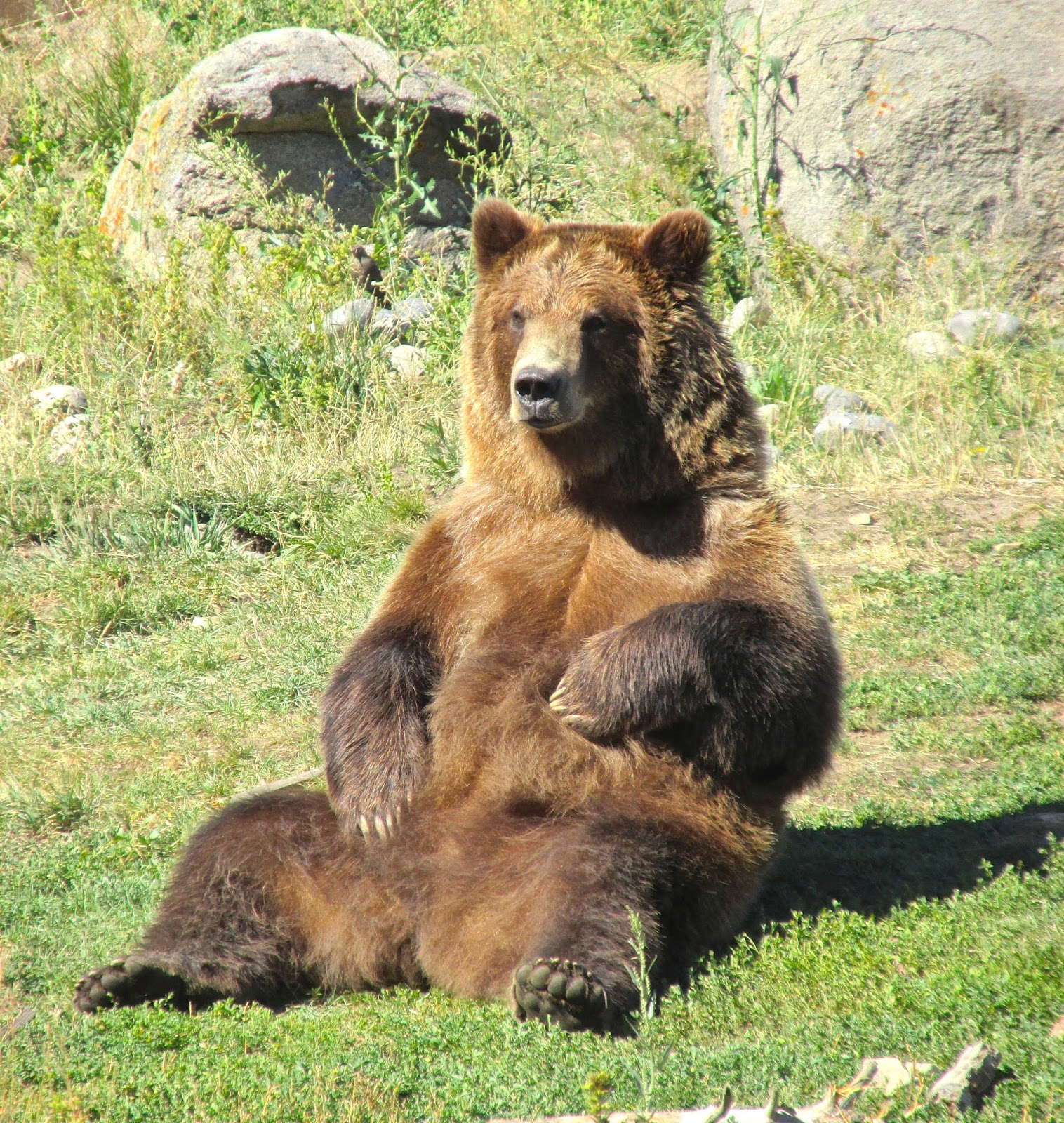 Grizzly bear sitting up - photo#47