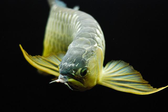 Làm sao để phân biệt các loại cá rồng (P1)
