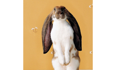 English Lop Ear Rabbit breed