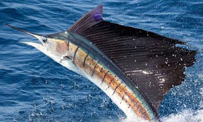 Animals That Start With S - Sailfish