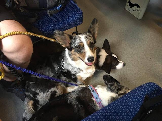 izery, góry, podróże z psem, z psem w podróży, wakacje z psem, z psem na wakacje, z psem na urlop, w góry z psem, izery z psem, karkonosze z psem, sudety z psem, cardimania, welsh corgi cardigan, cardigan, corgi, pies, psy, futra