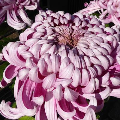 枚方宿の菊